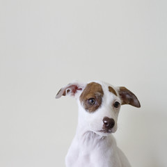Gia the Adopted Corgi/Terrier/? Puppy (Immature Animals) Tags: arizona dog female puppy mutt mix tucson young az marshall derek bark pup gia petco immatureanimals