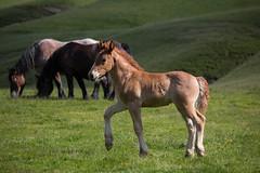 """jeune et fier (Nicolas R. """"El Gonzo"""") Tags: cheval horse chevaux horses animals animaux animal poulain"""