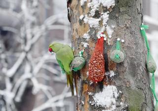Tropical parakeets surviving the harsh Dutch winter