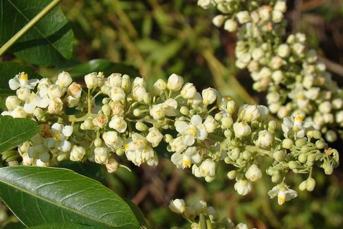 Serjania reticulata