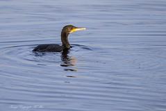 'Phalacrocorax carbo' ( Explored.) (nondesigner59) Tags: phalacrocoraxcarbo cormorant bird hunting fishing wildlife nature water copyrightmmee eos7dmkii nondesigner nd59