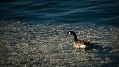 Canadian Goose (BlundaVare) Tags: goose canada canadian water blue ice slush animal nature species lake winter ngc