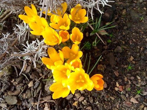 First sign of spring in my garden!