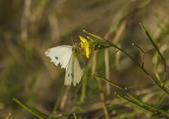 Butterfly (deepskywim) Tags: planten dieren vlinders bloemen grootkoolwitje saintgilles languedocroussillonmidipyrén france languedocroussillonmidipyrénées fr