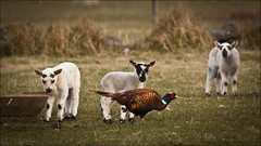 Lamb and Pheasant (scrumsrus) Tags: bird nature field rural landscape scotland countryside sheep pheasant wildlife farmland phasianuscolchicus lamb agriculture moray gamebird cabrach andystuart andystuartphotography