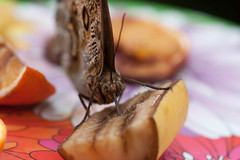 Dinner Time! (Pinti 1) Tags: nature butterfly eating wildlife banana