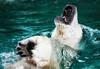 BACK STROKE !!!!!! (SleepingBear) Tags: friends polarbear sleepingbearimagewear allxpressus cincinnatizooandbotanicalgardens nikond300s