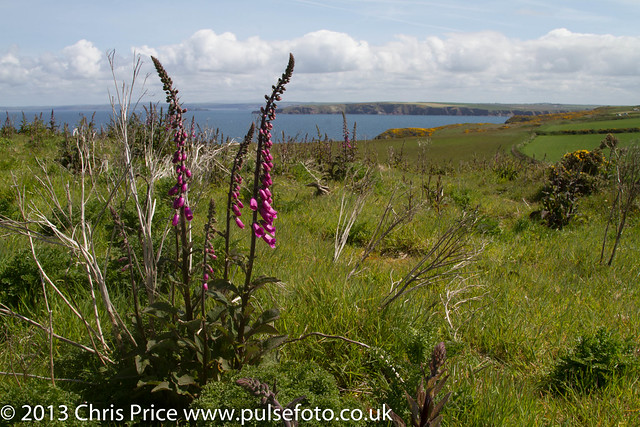 Foxgloves ar Marloes Peninsular