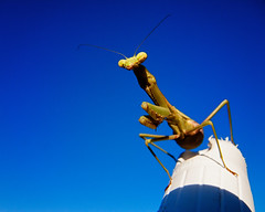 whatchoo lookin' at, willis? (fallsroad) Tags: mantis insect prayingmantis panasoniclumixfz30 jenksoklahoma