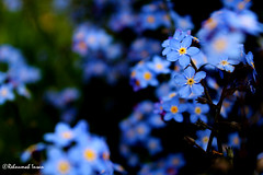 Bunch of blues (Ren Insan) Tags: flowers blue flower macro cute green nature grass yellow canon petals natural small sunny bunch stalk