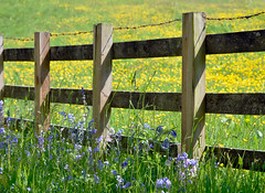 Another Flickr fence_Dormont style (gideonc) Tags: bluebells fence landscape scotland scenery barbedwire wildflower buttercups dormont