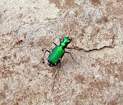 Six Spotted Tiger Beetle (Sea Moon) Tags: macro green nature bug insect shiny metallic beetle hunter iridescent predator bluegreen