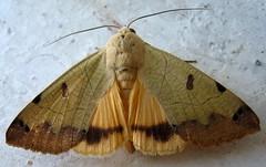 Ophiusa tirhaca -    (yoel_tw) Tags: moth soe  abigfave  ophiusatirhaca