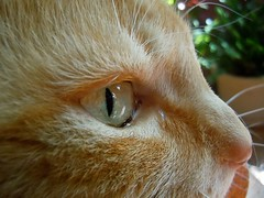 Eye of the Tiger (Rachel.Chalkley) Tags: orange cats detail macro cute eye animal animals closeup cat fur nose cool furry kitten colorful pretty zoom gorgeous tabby adorable kitty indoor whiskers awww lovely orangetabby impressive domesticated