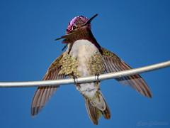 004_1005 w36-1600 (rjccski) Tags: bird nature animal nikon hummingbird d7100 55300mm nikonafsdxnikkor55300mmf4556gedvr