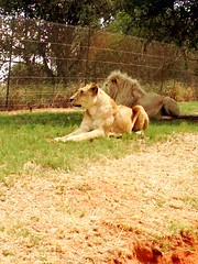 Lion Park Johannesburg (cbioud) Tags: lionpark uploaded:by=flickrmobile flickriosapp:filter=nofilter