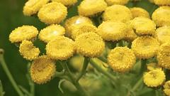 Tansy as swimming pool (Harm Weitering) Tags: flower macro nature yellow insect nederland natuur geel limburg tansy bloem gulpen gulpdal boerenwormkruid pesaken