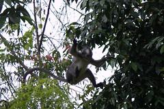 Thomas Leaf Monkey Jumping
