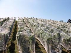birds (haunted snowfort) Tags: summer ontario canada birds vineyard wine winery nets netting garpes niagararegion highway8 jordanstation