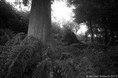 the downtown core (Mike Ambach) Tags: morning light blackandwhite bw forest britishcolumbia ferns