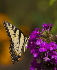 Tiger Swallowtail butterfly (Mark Chandler Photography) Tags: color colour nature canon ga butterfly georgia insect photography photo dof bokeh butterflies papillon 7d mariposa tigerswallowtail markchandler