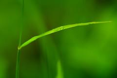 green (Padmika Gunawardhane) Tags: blur color green art nature beautiful grass leaves closeup canon garden leaf focus asia soft alone natural artistic bokeh outdoor south smooth creative best sri lanka lone srilanka blade mm f18 50 province westen canon7d