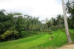 sawah hijau green (palgunadi) Tags: bali green indonesia terraces padi pura sawah paddies kawi subak
