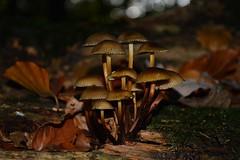 (Lara-Marie Janzen) Tags: nikon fotografie laub pilze wald blätter bunt pilz spaziergang d3200 bis1710