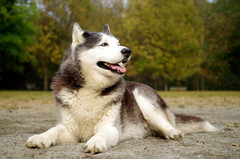 Cute Fluffy Husky Puppies Dog Cute Husky Fluffy