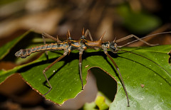 Epidares nolimetangere, male, Santubong (MichaSauer) Tags: insect sarawak borneo stick bako phasmid kasai mulu lambir santubong nanga sumpa lubok