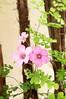 suavidade (jakza - Jaque Zattera) Tags: flores trevo azedinha suavidade jakza