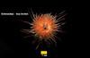 RS_Echinoidea (URX) Sea urchin_Ramon (Ramon Benedet) Tags: ocean sea bird georgia ross south deep urchin corals antarctic marinelife benthos echinoidea