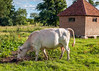 The cow of Nether Winchendon, Buckinghamshire UK.