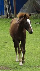 Potrinho, elegante e garboso, trocando a pelagem. (Parchen) Tags: foto fotografia cavalo filhote imagem égua potro cria registro mamando equuscaballus criado potrinho parchen carlosparchen cavalodoméstico