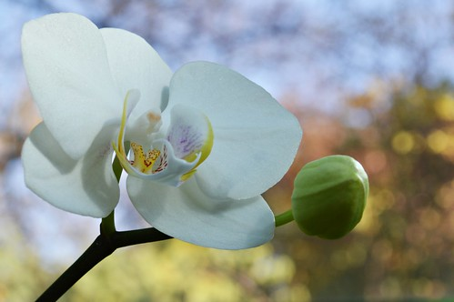 White orchid & autumn bokeh