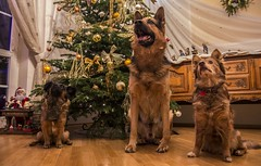 Santa's helpers (patiigraphy) Tags: christmas dog pet pets home dogs colors animals mammal evening pentax poland christmastree ornaments christmastime santashelpers patii wriggler stantaclaus pentaxk5 ringexcellence christmaspicturegallery patiigraphy