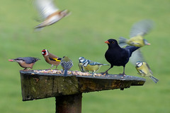 Birds of a feather, flock to Feathers! (Feathers (Joe)) Tags: blue wild food bird nature birds garden table sussex tit goldfinch great feathers reserve feeder east care nuthatch blackbird salehurst