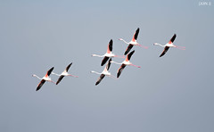 Pink Flight (JijinJayaraj) Tags: pink birds inflight flight wing span flamigoes dammam