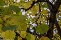 Leaves (Andrea Logrieco |) Tags: tree green leaves photo nikon d5100 {vision}:{plant}=0859 {vision}:{flower}=0625