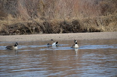 Throw Your Feet Into The Air Pt2 (Uncharted Sights) Tags: bird water river funny humor goose bathing canadagoose southplatte