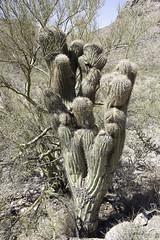 2007-OrganpipeNP-60 (Geir K. Edland) Tags: cactus saguaro cristata carnegieagigantea