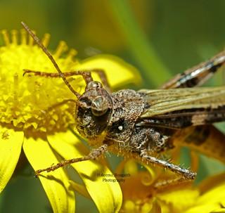 حشرات الكويت insects of kuwait