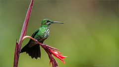 Green Crowned Brilliant (Raymond J Barlow) Tags: travel bird costarica hummingbird wildlife ngc adventure raymondbarlowphototours