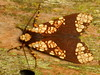 Tiger moth, Carathis rubriplaga (Ecuador Megadiverso) Tags: arctiidae arctiinae carathisrubriplaga erebidae loscedros moth tigermoth ecuador equateur butterfly schmetterling papillon mariposa lepidoptera southamerica südamerika nature natur naturaleza macro polilla neotropics neotropical falena motte insetto insecto inseto insecte equador biodiversity wildlife fauna arthropoda taxonomy:order=lepidoptera makro arthropod biodiversidad insekt insect insecta andreaskay reservaloscedros