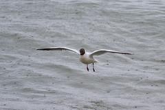 Black-headed Gull at Revekaien IMG_9887 (grebberg) Tags: bird norway norge gull fugl jren rogaland blackheadedgull klepp hettemke chroicocephalusridibundus chroicocephalus revekaien