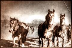 Pferdeherde - herd of horses (vampire-carmen) Tags: trees horses pet texture animals photoshop germany bayern deutschland bavaria tiere weide europa europe meadow wiese pasture alemania cai cavalos pferde bäume cavalli konie hdr kuda equine hevoset hester chevaux paarden 馬 ceffylau اسب nees zaldiak 말 hästar hestar heste cabalos jaran خيل ngựa घोडे סוסים лошади konji arkliai hobused chwal άλογα zirgi capaill 馬匹 kuajt घोड़े żwiemel адуу 马匹 canoneos600d פערד mgakabayo ձիեր коњи ಹಾರ್ಸಸ್ ঘোড়া घोडा សេះ ມ້າ ĉevaloj ઘોડા dawaki ịnyịnya ਘੋੜੇ