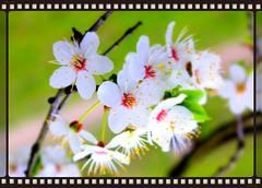 wiśnie kwiat wiśni (jakudoris) Tags: spring kot wiosna wisnie kwiatwiśni