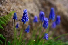 Muscaris-Vancouver (Samir D) Tags: flowers canada flower colors vancouver canon eos 50mm spring dof bc britishcolumbia northamerica 50mm18 2014 muscaris 40d canon40d canon40dcanon samird