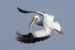 White Pelican (Andrew's Wildlife) Tags: