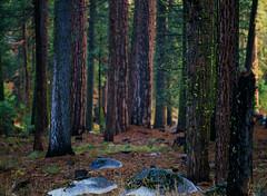 Forest Velvia (bior) Tags: 120 film forest mediumformat 645 pentax hiking slidefilm sierra velvia fujifilm redwood sierras sierranevada pinecrest velvia50 fujivelvia pentax645 redwoodforest filmphotography sierramountains iso50 filmslr pentax645nii 645nii pentaxsmca150mmf35